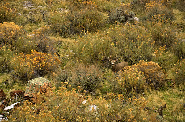 'Zion Deer' ~ Zion National Park, UT
