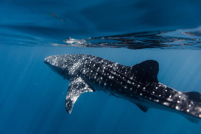 Whaleshark Glass Surface