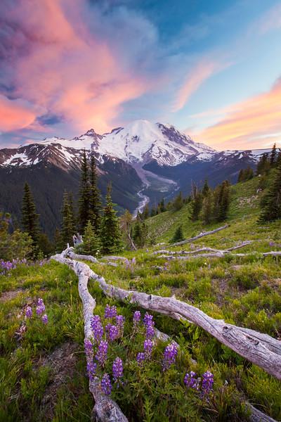 Purple Lupin grows in an alpine meadow across from Mount Ranier.