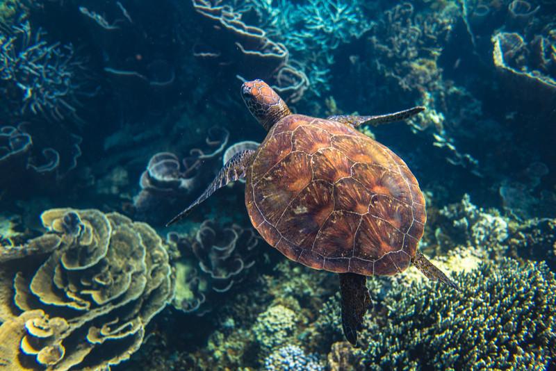 Turtle Flying Coral Below