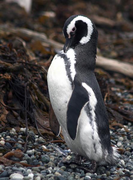 Patagonia - Magellan penguin near Brookes Glacier Bay