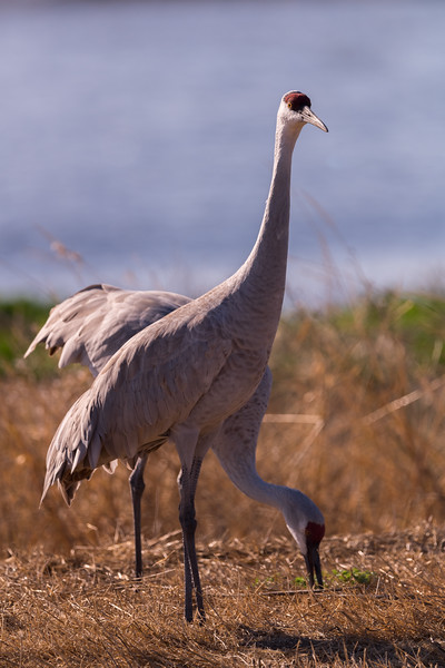 San Hill Crane