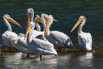 American White Pelicans gathering in preparation for migration