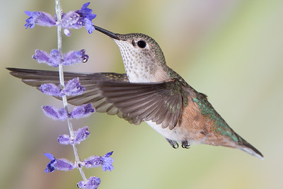 Hungry Hovering Broad-Tailed Hummingbird (Female)