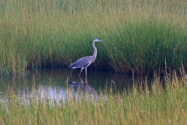 Paine's Creek Heron