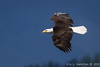 Bald Eagle, Seabeck, WA-4854