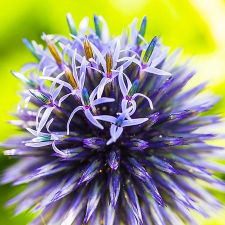 Flowering Purple Spikes