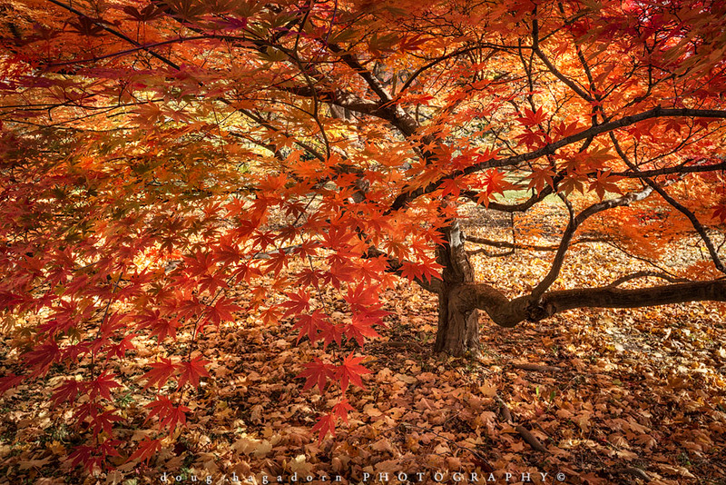 Autumn's Red Explosion (#0427)