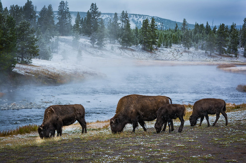 Buffalo along the River