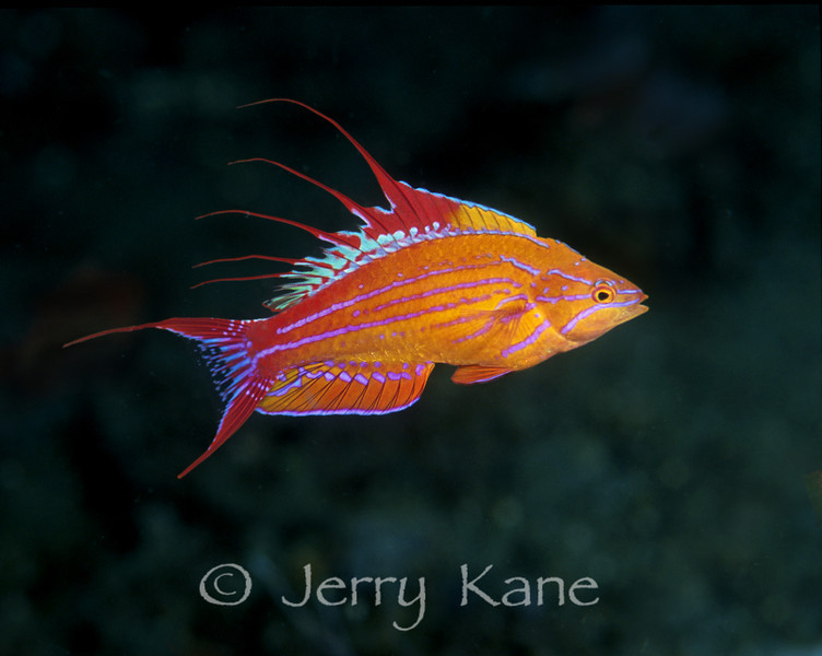 """Filamented Flasher Wrasse (Paracheilinus filamentosus) - Lembeh Strait, Indonesia  To see more Western Pacific wrasses, click <A HREF=""""http://sealifeimages.smugmug.com/gallery/4340944_Fovji#162912787_xdgpq""""> here</a>"""