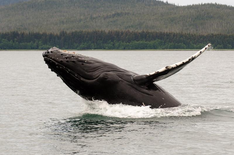 Humpback Whales #6, Juneau Alaska