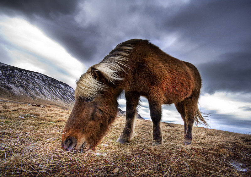 """<h2>An Icelandic Horse in the Wild</h2> <br/>If you want to see how I made this (and how you can too!), visit my <a href=""""http://www.stuckincustoms.com/hdr-tutorial/"""">HDR Tutorial</a>.  I hope it gives you some new tricks! I consider myself very lucky to have a network of great photographers around the world.  I met most of them through Flickr, where we are constantly commenting and giving feedback on one another's photos.  This has enabled me to meet up with great photographers wherever I travel, and they are great people to hang out with because they already know the prettiest places around where they live!<br/><br/>One of the people I was lucky to shoot with was Rebekka in Iceland.  We met at a coffee shop in Reykjavik and talked about where to go shoot.  We jumped in her car and drove a while until we reached a fjord.  Nearby were these horses running around like wild beasts.  They have no fear of humans, and we were able to go right up to them.  Their hair is very long, and I'm sure it evolved from the hyper-cold whipping winds around the edges of the sea.<br/><br/>I don't shoot a lot of animals, because I find it hard to improve upon what other great animal photographers have done in the past.  However, here is a tip for shooting animals.  It's kind of a lame trick, but it always works.  Use a wide-angle lens and get in close.  It always makes the head look really big and cute.  Humans love big-headed animals and it always makes them smile.  Why this is, I have no idea...  Note this trick also kinda works with babies.<br/><br/>Seriously, thanks to <a href=""""http://www.flickr.com/photos/rebba/"""">Rebekka</a> for a great day tooling around the fjords of Iceland.<br/><br/>Oh, and yes.... I have pictures of  <a href=""""http://www.flickr.com/photos/rebba/171966912/in/set-72157594277473390/"""">Rebekka coming up at some point wearing her green-thing</a> ...  nothing too salacious for public consumption, I assure you... but in more of a """"photographer in her milieu"""" milieu.<b"""