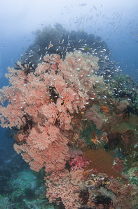 Pinnacle of Pink Corals