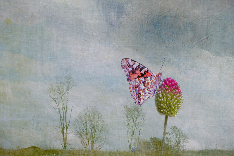 Tiny dancer - painted lady