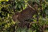 Leopard at K Gudi