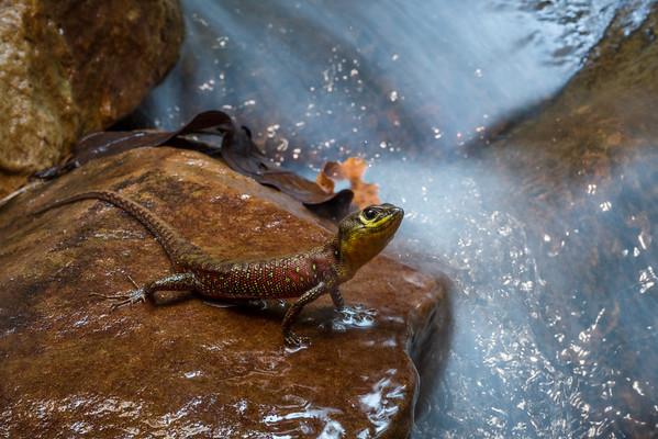 Potamites strangulatus, a semi aquatic lizard species that can be found in small flowing rivers in jungle settings.