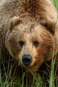 Grazing Brown Bear