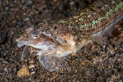 Lizardfish Predation