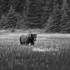 Brown Bear Lake Clark Alaska Monochrome