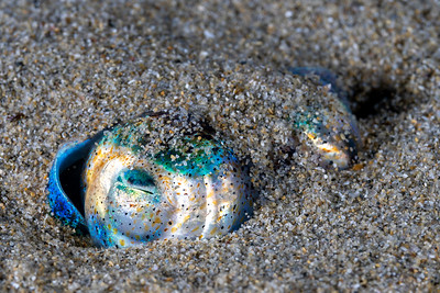 Southern Bobtail Squid