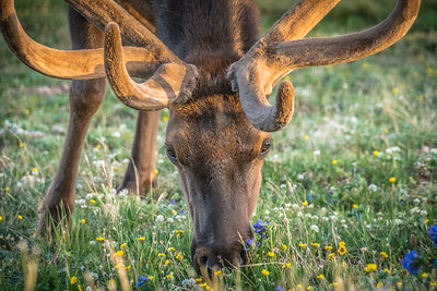 Elk Close-up