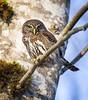 Northern Pygmy Owl-6702