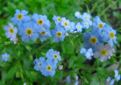 Bay Forget-Me-Not