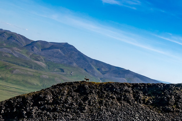 This member of the Porcupine Herd, walks the knife edge peak of a mountain on our path back to Inuvik from Vuntut.