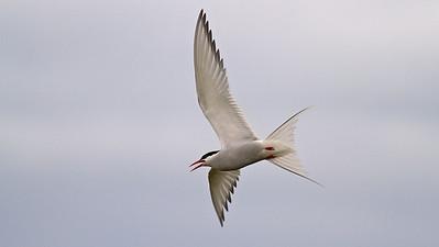 Arctic Tern, Küstenseeschwalbe (Sterna paradisaea) - Iceland