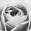 Hampton Rose_3 BW