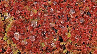 Großer Algenfarn, Rheinauen - Deutschland Azolla filiculoides, Rheinauen - Germany - mehr dazu im Blog: 'Roter' Algenfarn