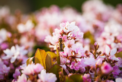 Garden Bee