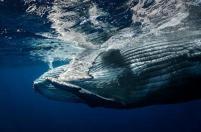 Salutation Whale