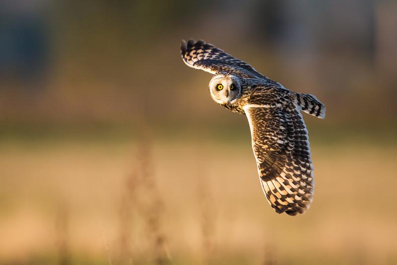Short-Eared Owl-5092
