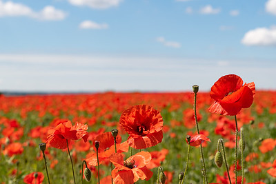 Poppy Field in Ecton