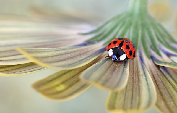 Macro Ladybug on the underside of a daisy.
