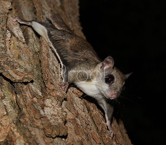 Flying squirrel - Brown County