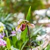 Paphiopedilum Orchid Hybrid