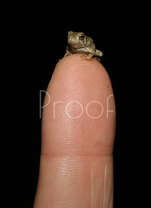 Frog on  finger - no Photo Shop - 6 frogs later.