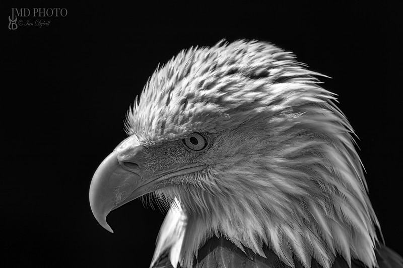 American bald eagle. Powerful high-contrast USA national bird monochrome image.