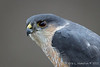 Sharp-shinned hawk-3644