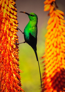 Malachite Sunbird on Aloe Ferox