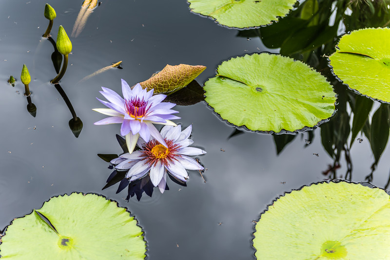 """""""Lone Star"""" Waterlily"""