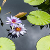 """Lone Star"" Waterlily"