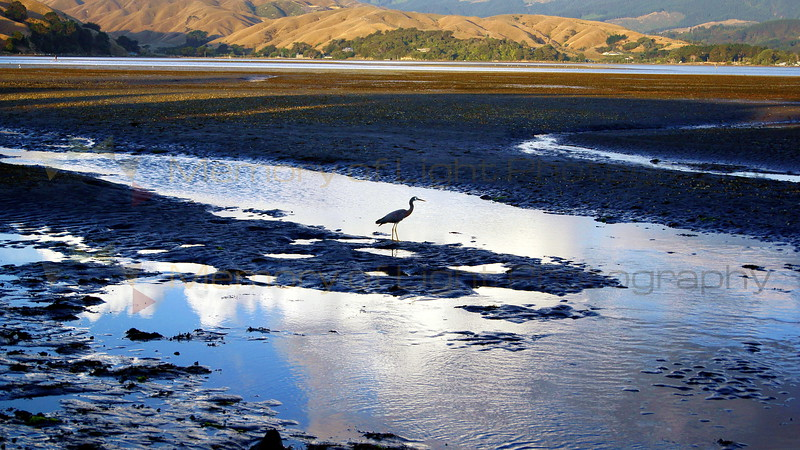 A lone heron fishing in the wetlands at Pauatahanui Inlet in New Zealand