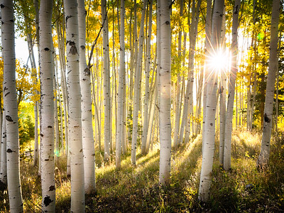 Golden Aspens Light and Shadows