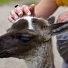 Baby Llama 2 - Inca Trail Peru