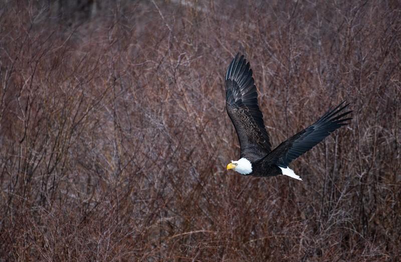 Rio Grande Bald Eagle