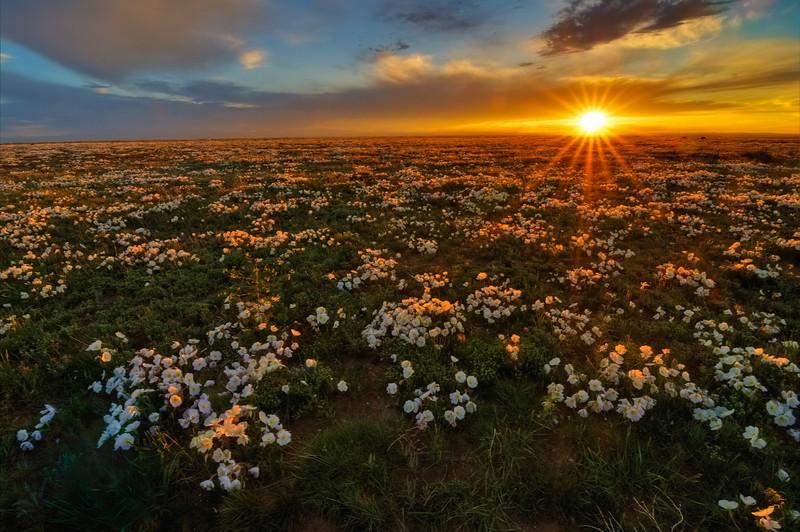 Pawnee Prairie Primrose Paradisio