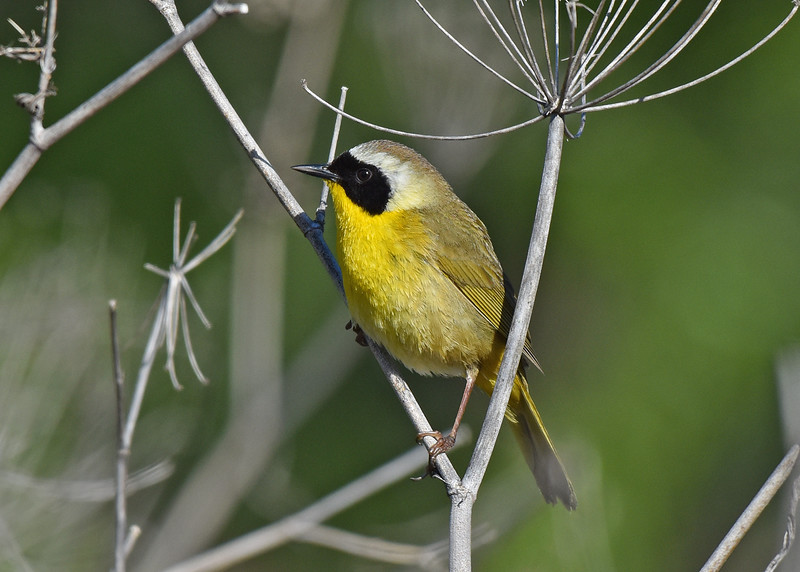 Common Yellowthroat (male) Common Yellowthroat
